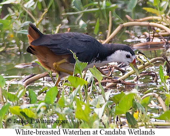 White-breasted Waterhen - © James F Wittenberger and Exotic Birding Tours