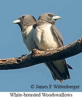 White-breasted Woodswallow - © James F Wittenberger and Exotic Birding Tours