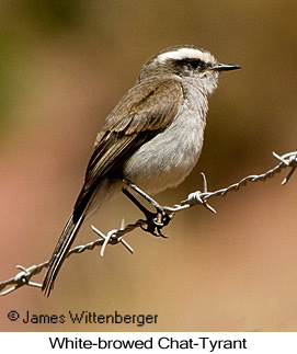 White-browed Chat-Tyrant - © James F Wittenberger and Exotic Birding Tours