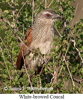 White-browed Coucal - © James F Wittenberger and Exotic Birding LLC