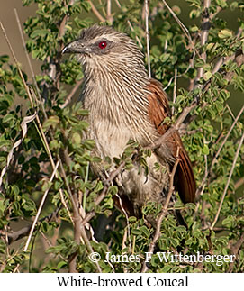 White-browed Coucal - © James F Wittenberger and Exotic Birding Tours