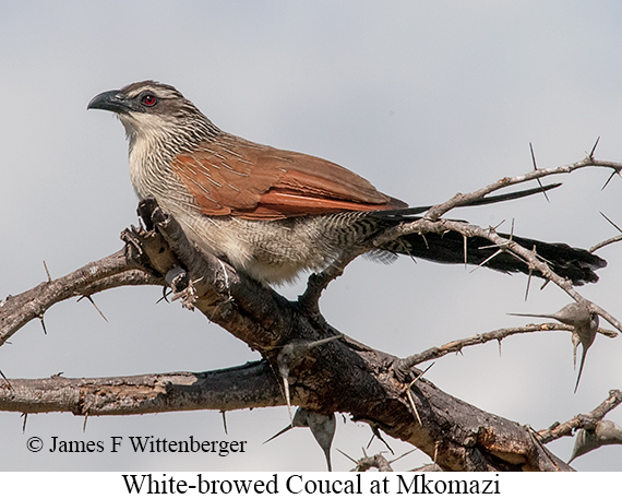 White-browed Coucal - © The Photographer and Exotic Birding LLC