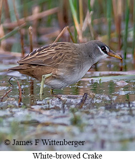 White-browed Crake - © James F Wittenberger and Exotic Birding Tours