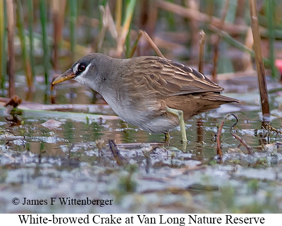White-browed Crake - © James F Wittenberger and Exotic Birding LLC