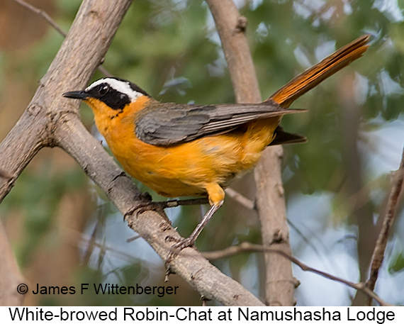 White-browed Robin-Chat - © The Photographer and Exotic Birding LLC