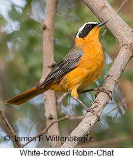 White-browed Robin-Chat - © James F Wittenberger and Exotic Birding LLC