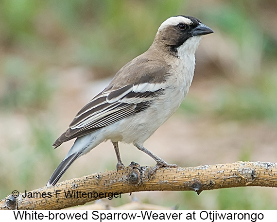 White-browed Sparrow-Weaver - © James F Wittenberger and Exotic Birding LLC