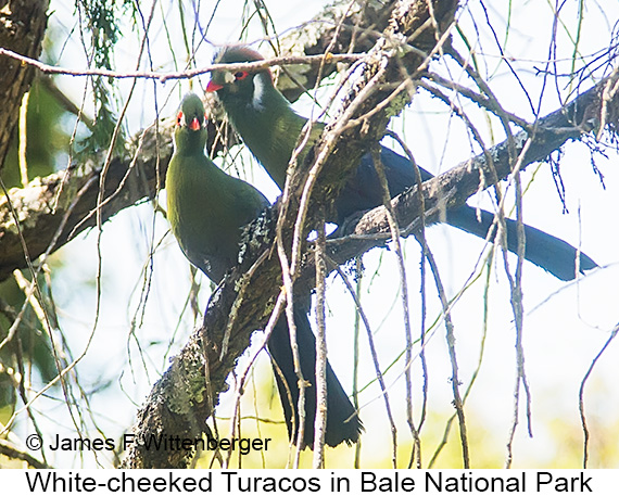White-cheeked Turaco - © The Photographer and Exotic Birding LLC
