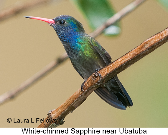 White-chinned Sapphire - © Laura L Fellows and Exotic Birding LLC