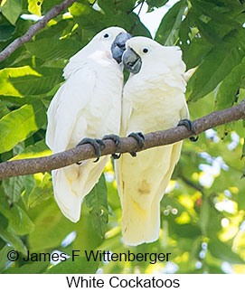 White Cockatoo - © James F Wittenberger and Exotic Birding Tours