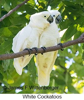 White Cockatoo - © James F Wittenberger and Exotic Birding LLC