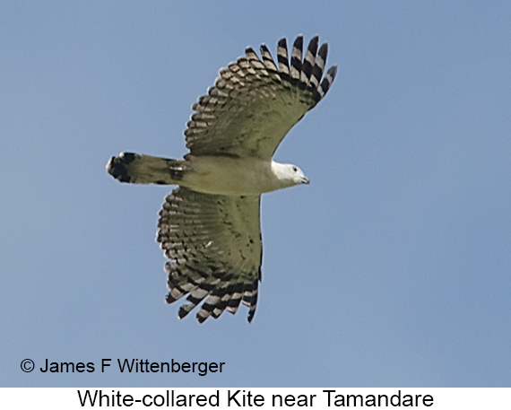 White-collared Kite - © James F Wittenberger and Exotic Birding LLC