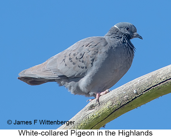 White-collared Pigeon - © James F Wittenberger and Exotic Birding LLC