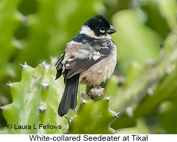 White-collared Seedeater - © Laura L Fellows and Exotic Birding Tours