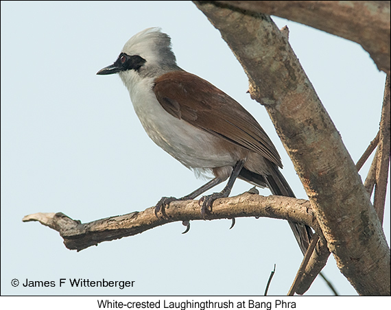 White-crested Laughingthrush - © James F Wittenberger and Exotic Birding Tours