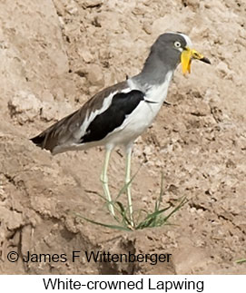 White-headed Lapwing - © James F Wittenberger and Exotic Birding LLC