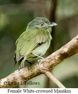 White-crowned Manakin - © Laura L Fellows and Exotic Birding LLC