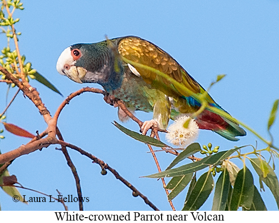 White-crowned Parrot - © Laura L Fellows and Exotic Birding LLC