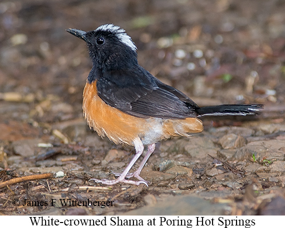 White-crowned Shama - © James F Wittenberger and Exotic Birding Tours