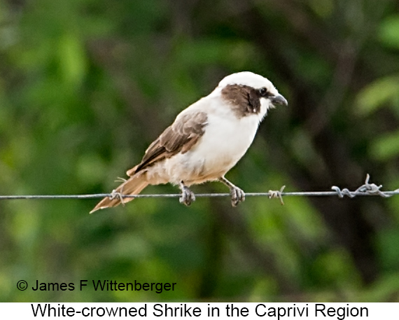 White-crowned Shrike - © James F Wittenberger and Exotic Birding LLC