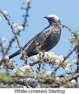 White-crowned Starling - © James F Wittenberger and Exotic Birding LLC