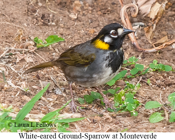 White-eared Ground-Sparrow - © Laura L Fellows and Exotic Birding LLC