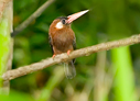 White-eared Jacamar - © Laura L Fellows and Exotic Birding Tours