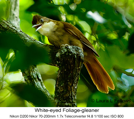 White-eyed Foliage-gleaner - © Laura L Fellows and Exotic Birding Tours