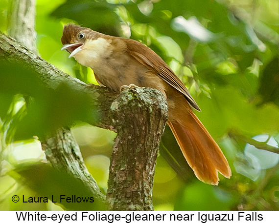 White-eyed Foliage-gleaner - © Laura L Fellows and Exotic Birding LLC