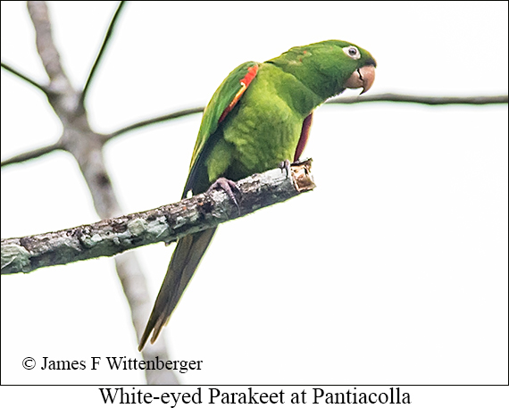 White-eyed Parakeet - © James F Wittenberger and Exotic Birding Tours