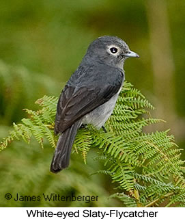 White-eyed Slaty-Flycatcher - © James F Wittenberger and Exotic Birding LLC