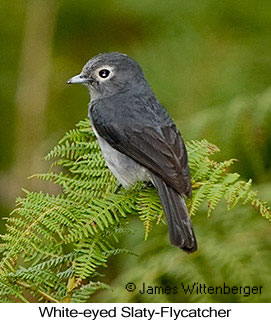 White-eyed Slaty-Flycatcher - © James F Wittenberger and Exotic Birding Tours