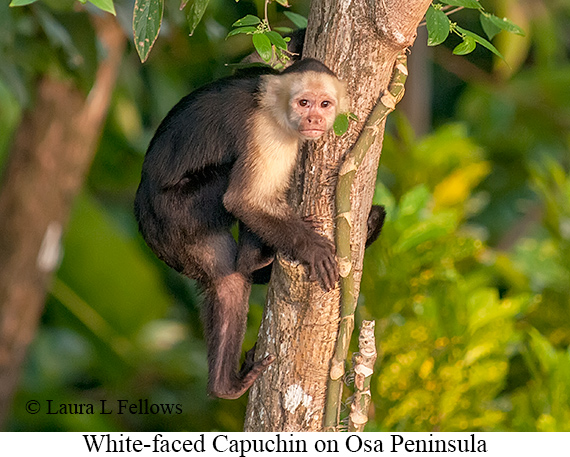 White-faced Capuchin - © Laura L Fellows and Exotic Birding Tours
