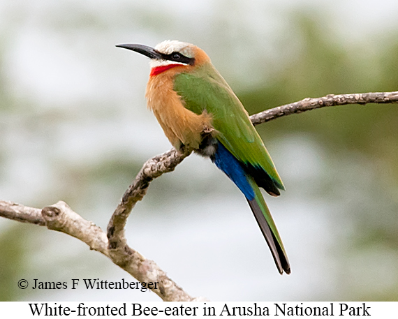 White-fronted Bee-eater - © James F Wittenberger and Exotic Birding LLC