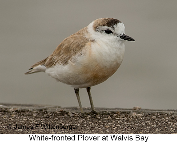 White-fronted Plover - © James F Wittenberger and Exotic Birding LLC