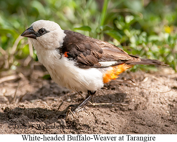 White-headed Buffalo-Weaver - © The Photographer and Exotic Birding LLC