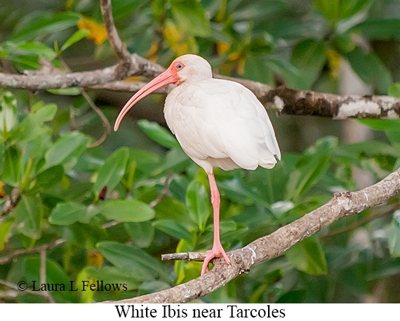 White Ibis - © The Photographer and Exotic Birding LLC
