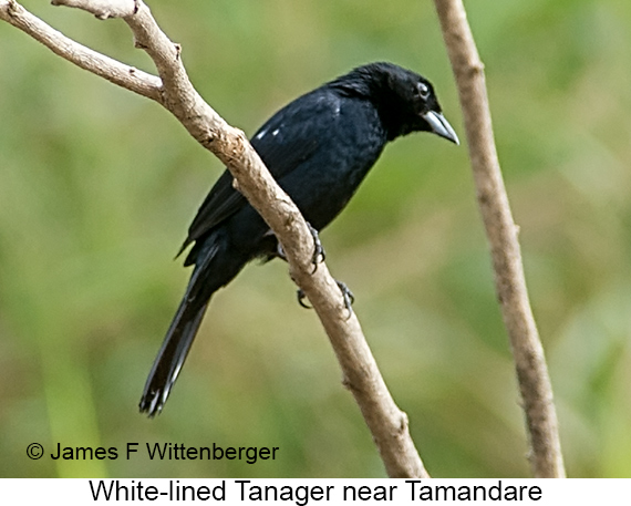 White-lined Tanager - © James F Wittenberger and Exotic Birding LLC