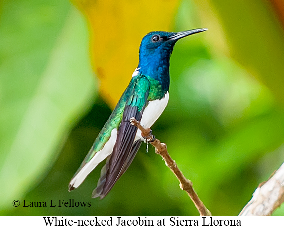 White-necked Jacobin - © Laura L Fellows and Exotic Birding Tours