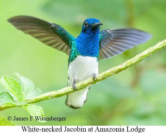 White-necked Jacobin - © James F Wittenberger and Exotic Birding Tours