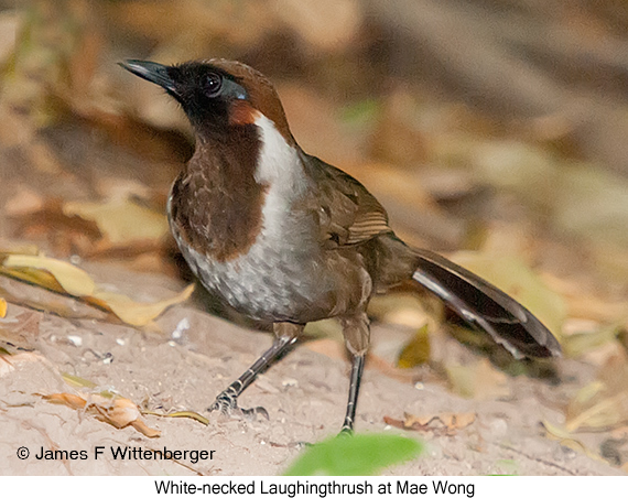 White-necked Laughingthrush - © James F Wittenberger and Exotic Birding Tours