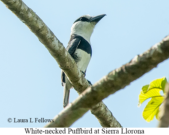 White-necked Puffbird - © Laura L Fellows and Exotic Birding LLC