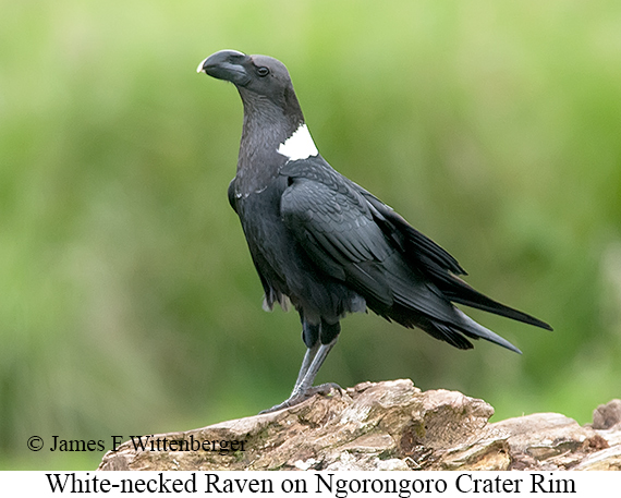 White-necked Raven - © James F Wittenberger and Exotic Birding LLC