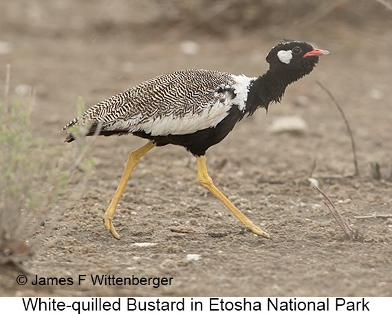 White-quilled Bustard - © The Photographer and Exotic Birding LLC
