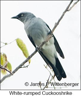 White-rumped Cuckooshrike - © James F Wittenberger and Exotic Birding Tours