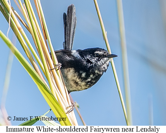 White-shouldered Fairywren - © James F Wittenberger and Exotic Birding Tours