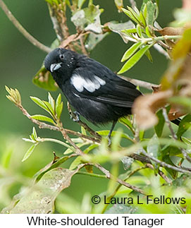 White-shouldered Tanager - © Laura L Fellows and Exotic Birding LLC