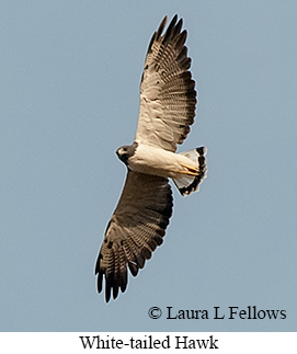 White-tailed Hawk - © Laura L Fellows and Exotic Birding LLC