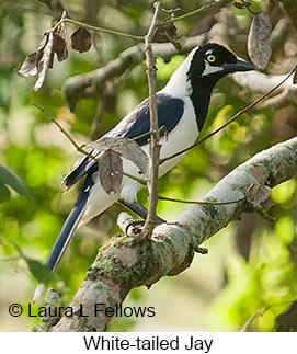 White-tailed Jay - © Laura L Fellows and Exotic Birding LLC