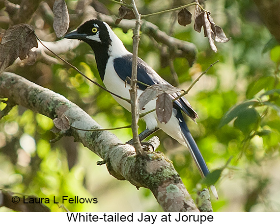 White-tailed Jay - © Laura L Fellows and Exotic Birding Tours